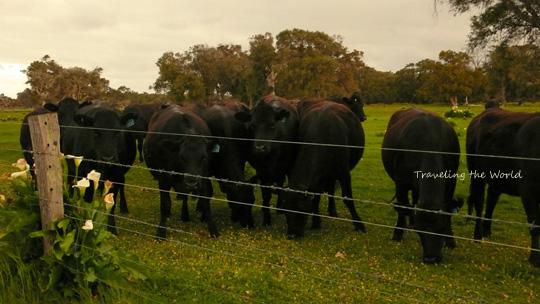 cow1011%2003.jpg