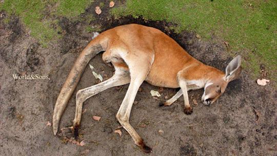 kangaroo%2000.jpg